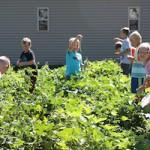 Harvesting jumbo beans as well as green and yellow beans proved fun for the GRMC Daycamp youth.