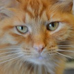 Pumpkin, a long-haired beauty, has been with PALS for years.