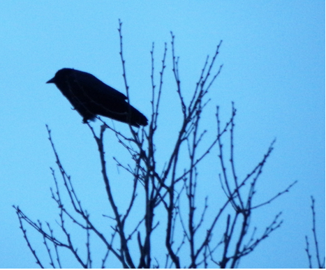 "In March of 2015, Boston's NPR station, WBUR, ran a segment that pronounced crows as ""scary smart."""