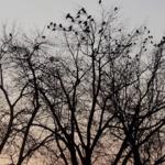 crow_660